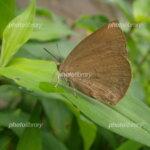 【2021】蝶々?蛾?大量に発生している茶色い蝶々はなんて名前?影響や被害はあるの?